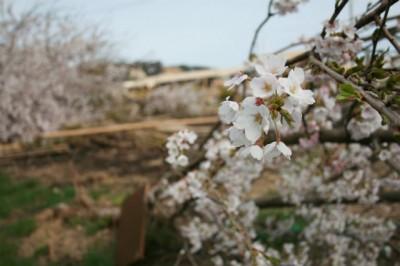 福島県いわき市岩間町仁反田の桜(東日本桜前線・伊藤さん撮影)