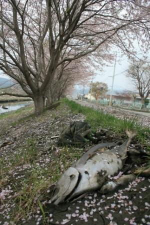 宮城県気仙沼市大川の桜(東日本桜前線・伊藤さん撮影)