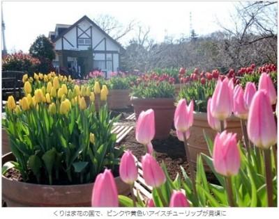 くりはま花の国で咲いたピンクや黄色のアイスチューリップ(横須賀経済新聞より)