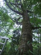 ブナ林の状況も観察する(小田原箱根経済新聞ホームページより)