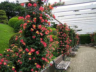 パーゴラにこぼれるバラを眺めながらベンチで過ごすひととき(生田緑地ばら苑ホームページより)