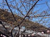 三浦海岸の桜 2月7日現在(「三浦市観光案内」ホームページより)